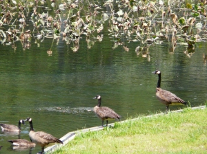 Tuckahue and Geese