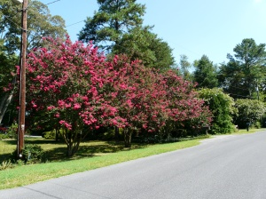Crape Myrtle on our street