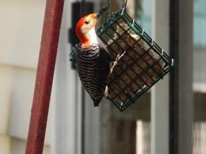 woodpecker 001