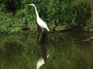 white heron 005